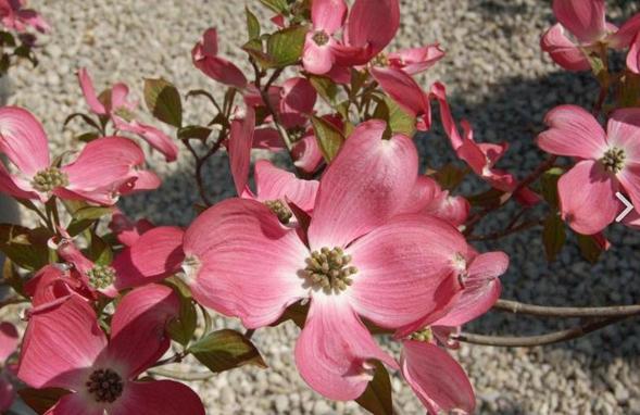 CORNUS florida 'Royal Red', une floraison rose spectaculaire