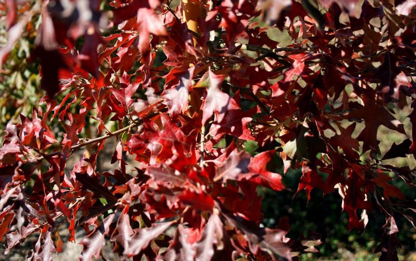 Le QUERCUS Icifolia - en vente en 2020 aux pépinières de bazainville