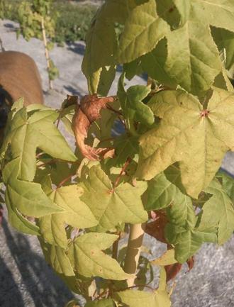 Copalme d'Amérique Golden Sun - Bois jaune brillant et feuilles palmées