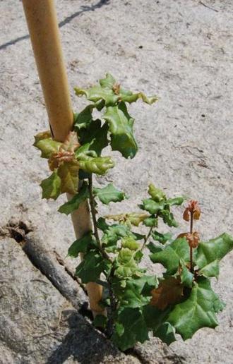 Vente de Chêne vert de Californie aux pépinières de bazainville
