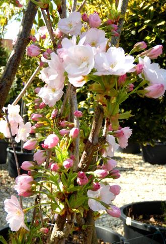 Cerisier du Japon 'Amanogawa' - Une superbe colonne fleurie