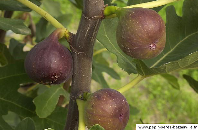 Figuier Rouge de Bordeaux ou Ficus carica
