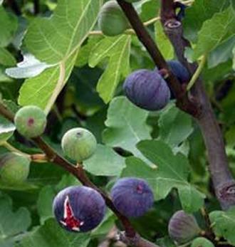 Figuier 'Noire de Caromb' - figues très sucrées et juteuses