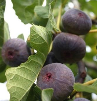 Figues bio dans votre jardin le figuier 'Noire de Bellone'
