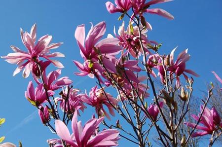 Magnolia liliiflora 'Nigra - magnifique floraison printanière