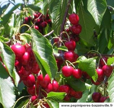 Cerisier Bigarreau Marmotte - Achat de Cerisiers en Pépinières