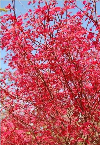 Erable japonais Deshoïo - Très beau feuillage changeant avec les saisons