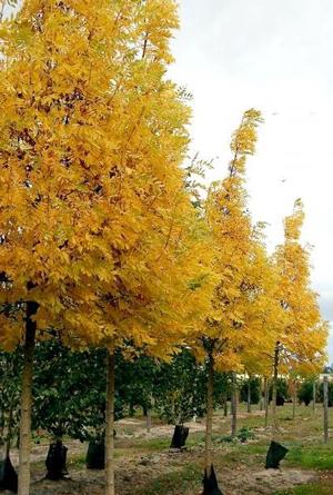 Frêne d'or - Arbre d'alignement au feuillage jaune d'or en automne