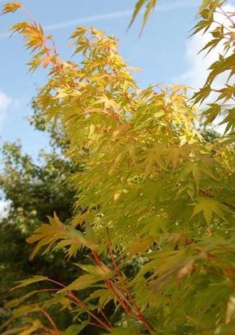 Erable japonais 'Coralinum' - Arbuste orange lumineux en hiver