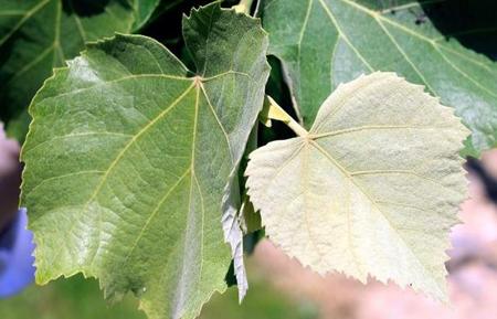 Le tilleul argenté, arbre de choix pour une plantation en ville