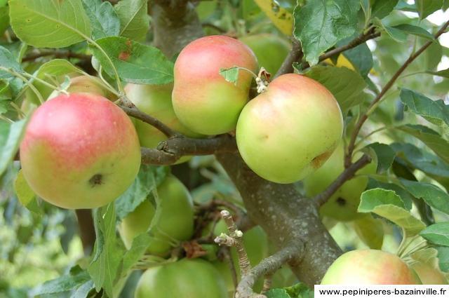 De délicieuses pommes idared dans votre jardin