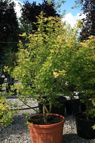 L'érable champêtre Postelense, une belle coloration dorée.