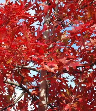 Chêne majestueux avec une belle coloration automnale