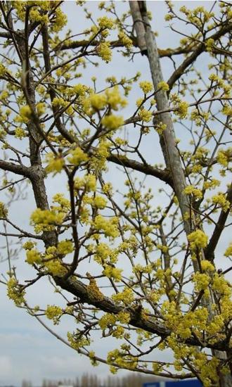 Cornouiller mâle, une très belle floraison jaune