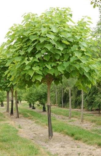 CATALPA bignoinoides, l'arbre aux haricots