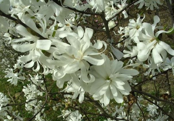 MAGNOLIA Stellata - Profusion de fleurs étoilées blanches