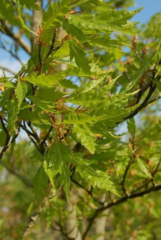 Hêtre lacinié à feuilles de fougères FAGUS sylvatica Asplenifolia