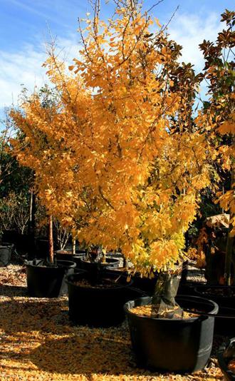 Gingko biloba 'Saratoga', beau feuillage jaune en automne