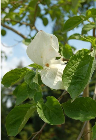 Cornouiller de Nuttall - Somptueuse floraison blanche