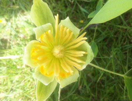 Tulipier de Virginie, arbre majestueux feuillage et floraison remarquables