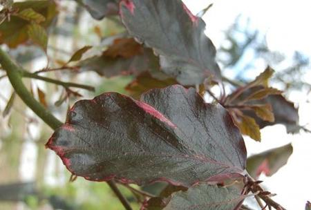 Hêtre pourpre au feuillage marbré tricolore