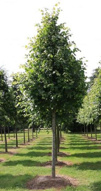 TILIA x Europaea 'Pallida' - Grand arbre facile à former