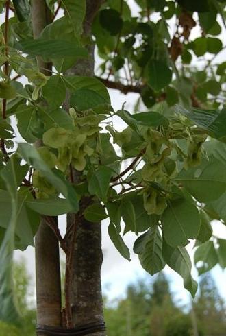 L'Orme de Samarie - une floraison parfumée et des fruits décoratifs