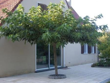 Mûrier à feuilles de platanes - Idéal pour une zone d'ombrage
