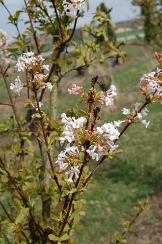 VIBURNUM x bodnantense, une belle  floraison hivernale odorante