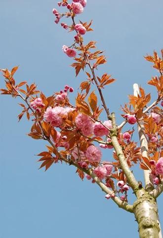 Cerisier à fleurs du Japon Kanzan - Spectaculaire floraison rose framboise
