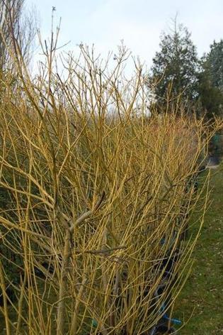 CORNUS Stolonifera 'Flaviramea' bois jaune d'or en hiver