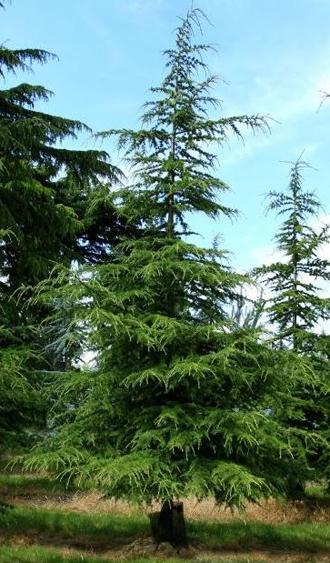 Cedre Vert de l'Atlas, un conifère d'ornement majestueux