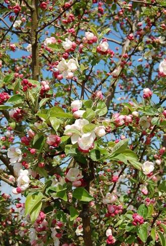 Pommier Evereste,  spectaculaire floraison fructification