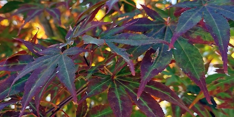 Erable pourpre du Japon Acer palmatum 'Atropurpureum'