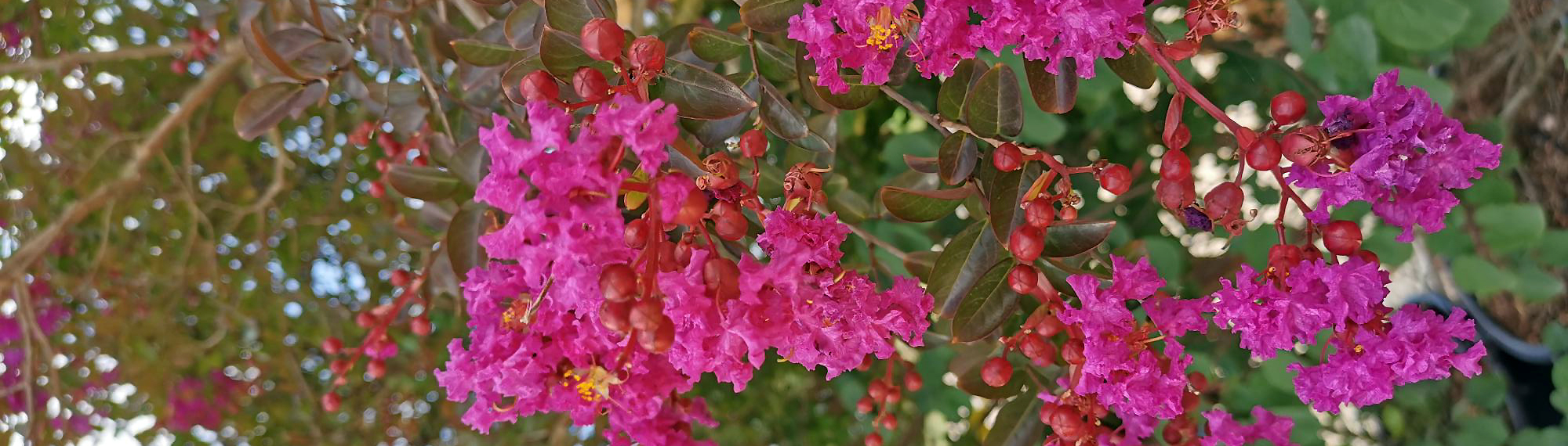 Lilas des Indes Rose Lagerstroemia - Pépinières de Bazainville
