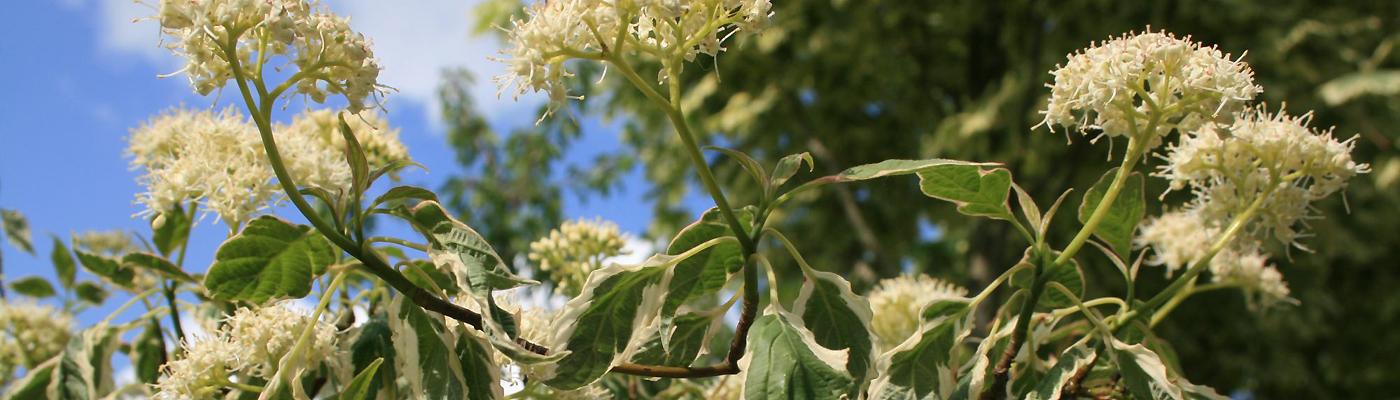 Cornouillers Cornus controversa Cornus alternifolia