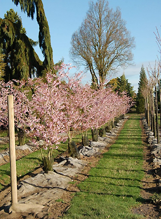 Prunus Accolade - Cerisier du Japon - Pépinières Bazainville
