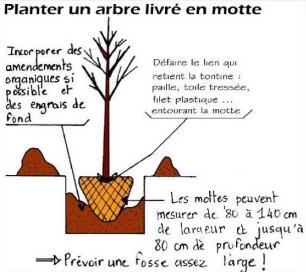 Planter un arbre livré en motte - Conseils Pépiniériste