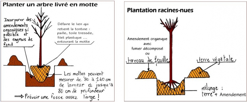 Quand et comment planter arbres et arbustes ?