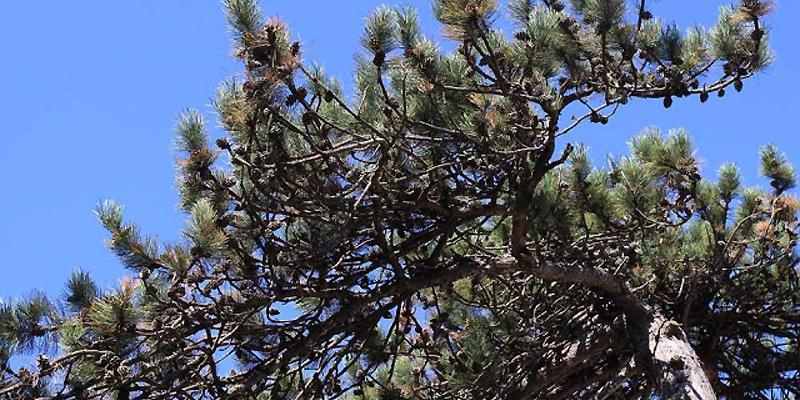Conifères, des arbres à cônes ou plantes à ovules nus