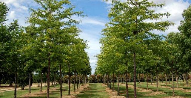 Vente de grands arbres - Pépinières Bazainville