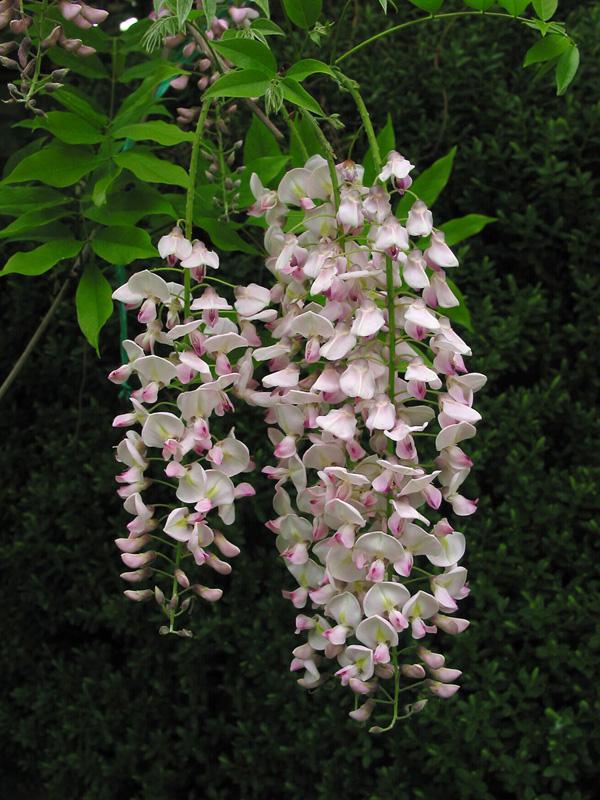 Glycine du Japon - Wisteria floribunda
