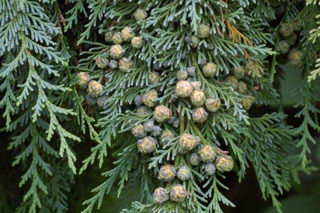 Cyprès de Lawson - Chamaecyparis lawsoniana
