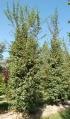 Erable champêtre - Acer campestre - Erables