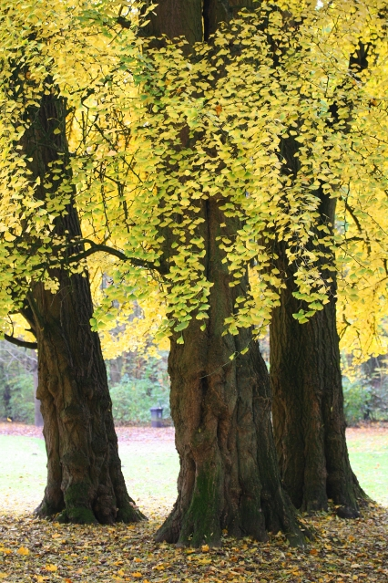 Gingko biloba - Origines de l'arbre