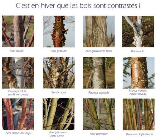 Arbres et arbustes à bois décoratifs les écorces