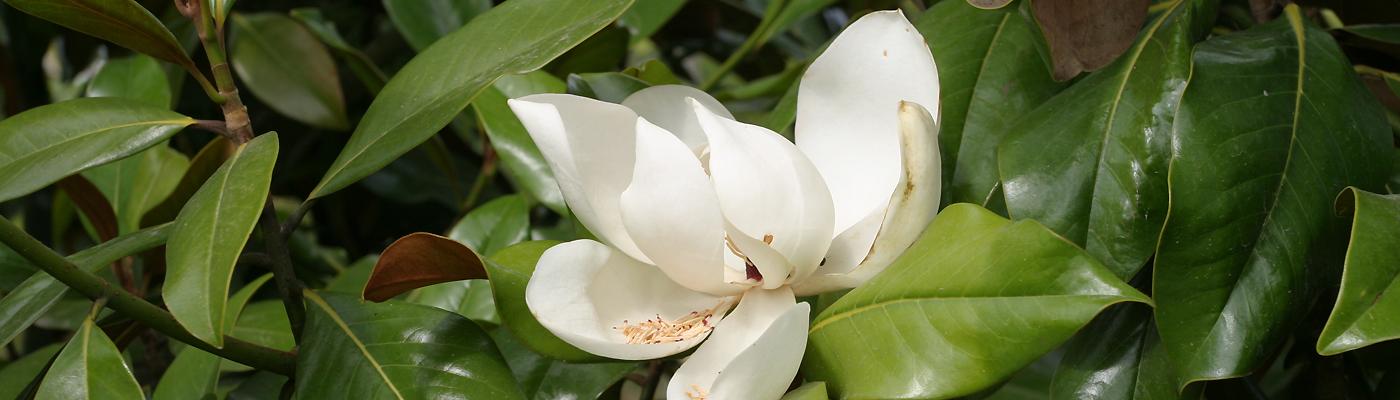 Acheter Magnolia Grandiflora