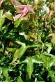 Acer buergerianum - Erable de Burger