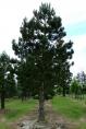 Pinus Nigra Austriaca - Pin Noir d'Autriche
