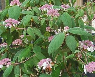 Hydrangea Aspera Sargentiana - Hortensias Pépinières